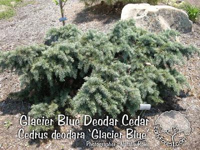 Glacier Blue Deodar Cedar