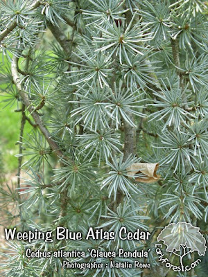 Weeping Blue Atlas Cedar Foliage