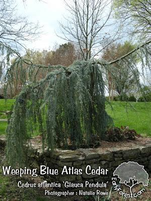 washington hawthorn tree facts. Weeping Blue Atlas Cedar Tree