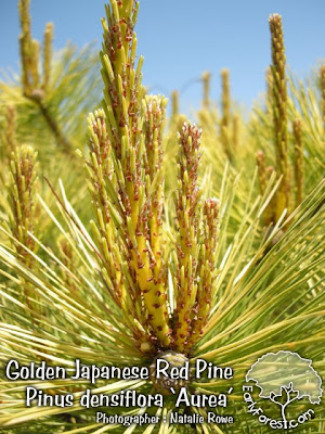 Golden Japanese Red Pine Foliage