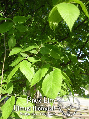 Rock Elm Leaves