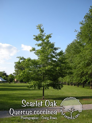 Scarlet Oak Tree