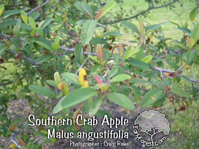 Southern Crab Apple Leaves
