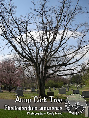 Amur Cork Tree