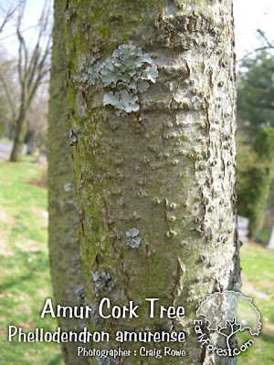 Amur Cork Tree Bark