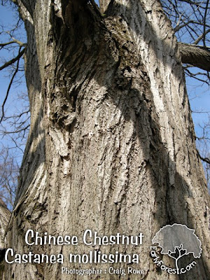 Chinese Chestnut Bark