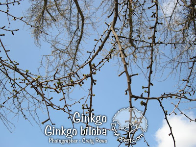 Ginkgo Branching
