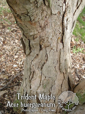 Trident Maple Bark