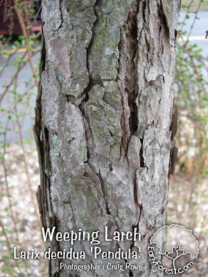 Weeping Larch Bark