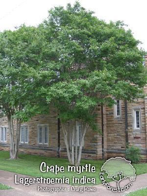 Craig Myrtle Tree