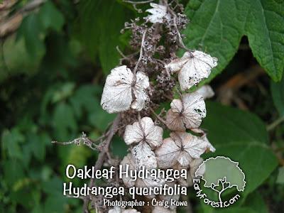 Dry Oakleaf Hydrangea Blooms