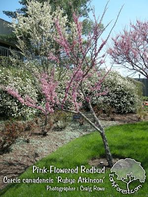 Rubye Atkinson Pink Redbud Tree