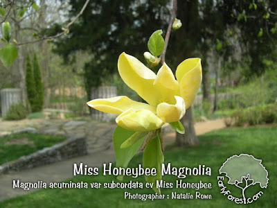 Miss Honeybee Magnolia Flower