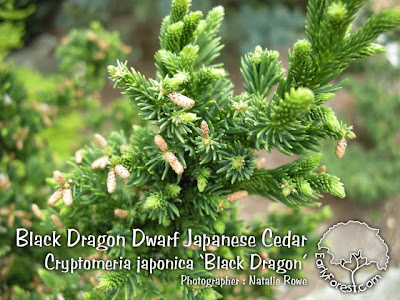 Black Dragon Dwarf Japanese Cedar Foliage
