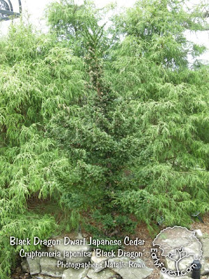 Black Dragon Japanese Cedar