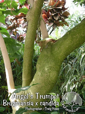Angel's Trumpet Bark