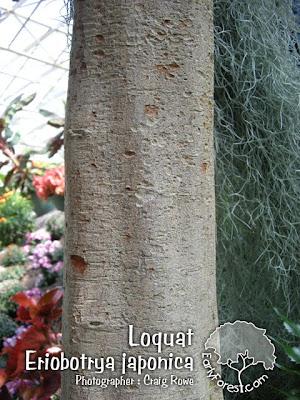 Loquat Bark
