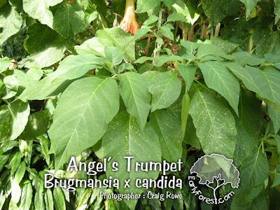 Angel's Trumpet Leaves