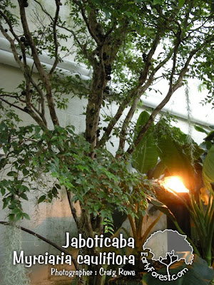 Jaboticaba Tree