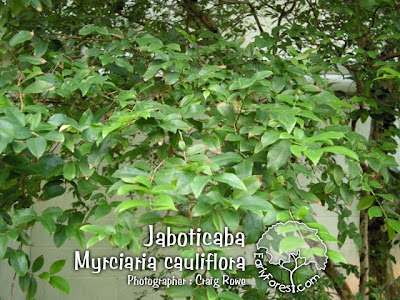 Jaboticaba Leaves