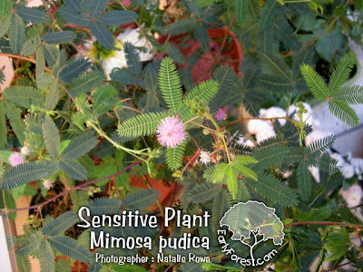 Sensitive Plant Mimosa pudica