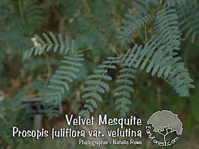 Velvet Mesquite Leaves