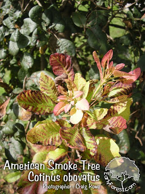 American Smoke Tree New Growth Leaves