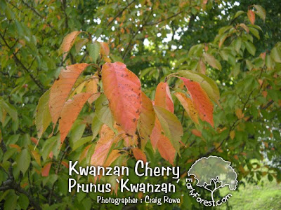 Kwanzan Cherry Leaves Reds