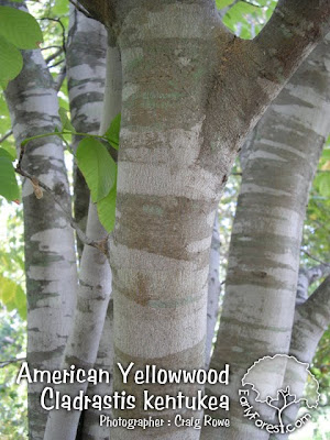 American Yellowwood Bark