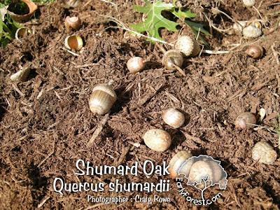 Shumard Oak Acorns