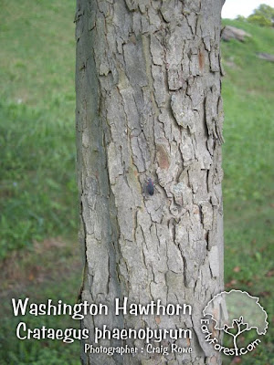 washington hawthorn tree pictures. Washington Hawthorn Bark