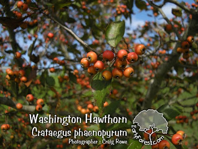 Washington Hawthorn Berries