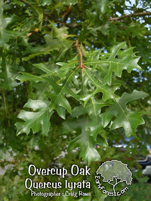Overcup Oak Leaves