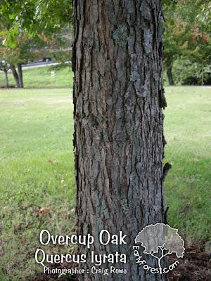 Overcup Oak Bark
