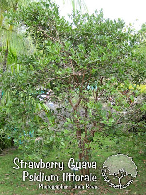 Strawberry Guava Tree