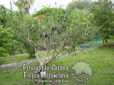 Pineapple Guava Tree