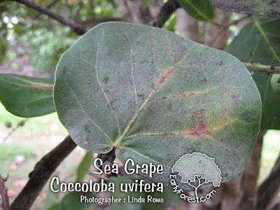 Sea Grape Leaf