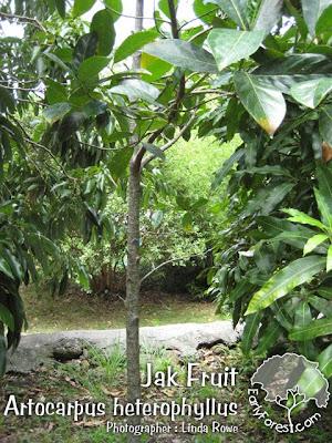 Jak Fruit Tree