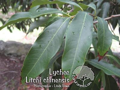 Lychee Leaves