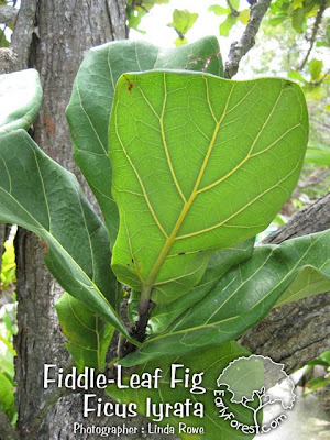 Fiddle-Leaf Fig Leaves