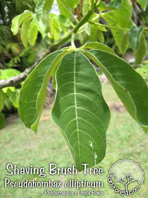 Shaving Brush Tree Leaves