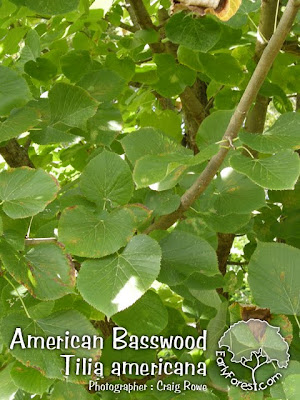 American Basswood Leaves