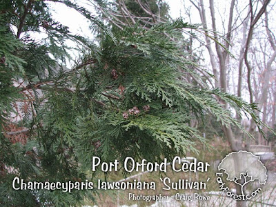 Port Orford Cedar Foliage