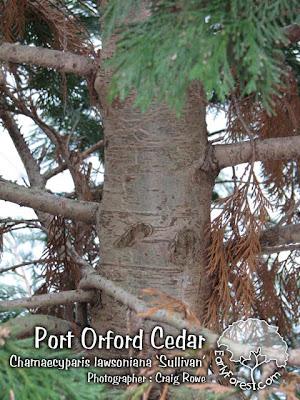 Sullivan Port Orford Cedar Bark