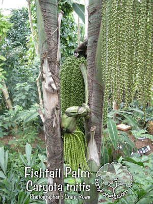 Fishtail Palm Tree
