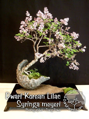 Bonsai Dwarf Korean Lilac