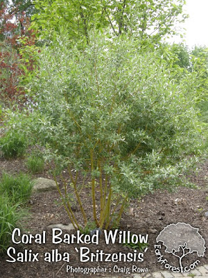 Coral Barked Willow