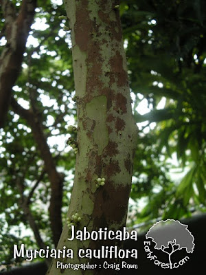 Jaboticaba Bark
