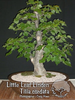 Little Leaf Linden Bonsai