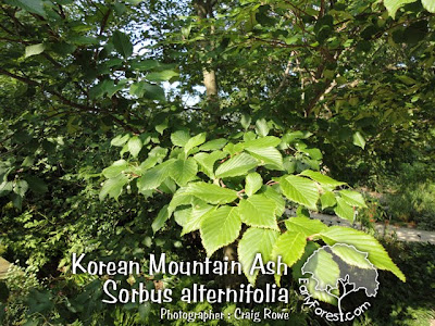Korean Mountain Ash Leaves